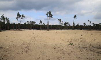 Kiefern machen Platz für Bugker Sahara