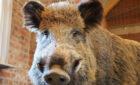 """Afrikanische Schweinepest: Storkow (Mark) ab sofort """"Pufferzone"""""""