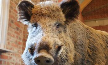 Wildschweine können die tödliche Afrikanische Schweinepest übertragen. Dieses Exemplar ist nicht gefährdet - es ist ausgestopft und Teil der Entdeckerausstellung auf der Burg Storkow. Foto: Marcel Gäding