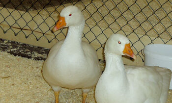Geflügelpest in Storkow: 9.500 Enten in Philadelphia getötet