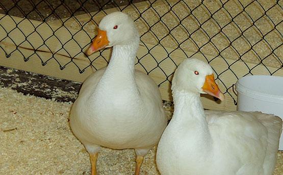 Wer Hausgeflügel wie diese Enten hält, sollte umgehend reagieren und sich gegebenenfalls mit den Behörden in Verbindung setzen. Foto: Marcel Gäding